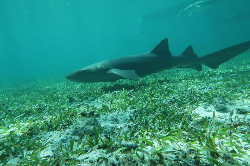 Nurf Shark